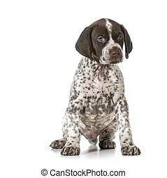 cute puppy - german shorthaired pointer puppy sitting...