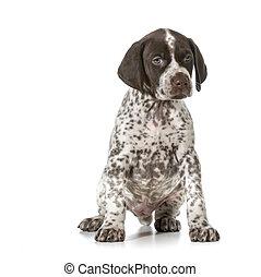 cute puppy - german shorthaired pointer puppy sitting...