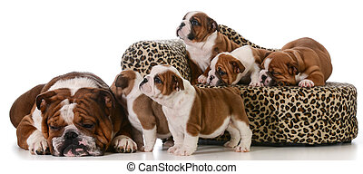 bulldog family - father and five puppies isolated on white...