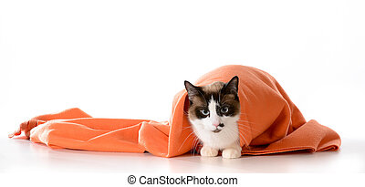 cat hiding under blanket - cat hiding under covers - ragdoll...