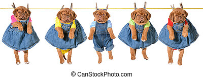 litter of puppies hanging on a clothesline - dogue de...