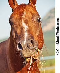 funny portrait of grazing sorrel horse