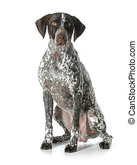 german shorthaired pointer male - german shorthaired pointer...