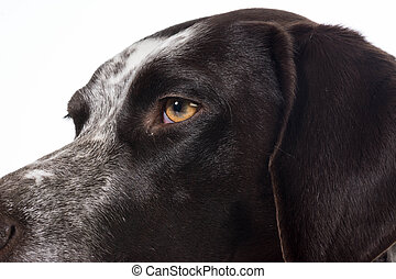 german shorthaired pointer details - german shorthaired...