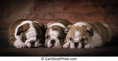 cute puppies - cute english bulldog puppies sleeping - 7...