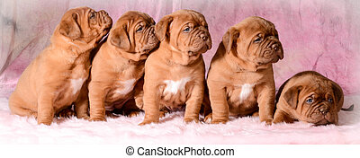 litter of puppies - litter of dogue de bordeaux puppies - 5...