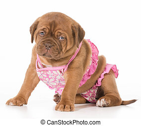 female puppy - dogue de bordeaux wearing pink bikini...