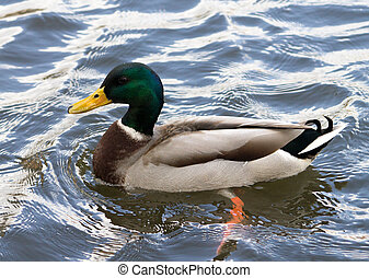 Mallard Drake, swimming on the water, side profile