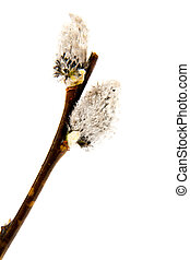 pussy-willow isolated a white background