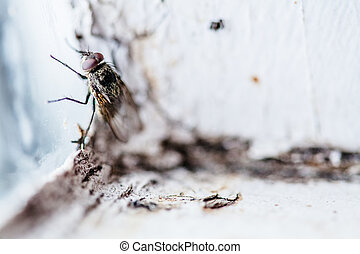 Nasty Housefly in a Window - Nasty Housefly in a Dirty...
