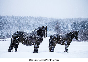 Horses Looking at the Camera during a Snowstorm - Two...