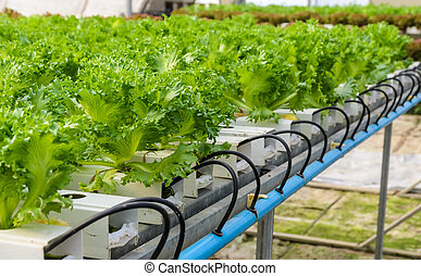 Filey Iceberg lettuce Hydroponic vegetables plantation