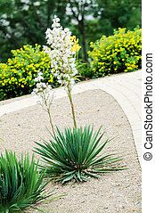 Blooming yucca palm in a formal garden