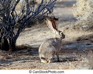 Black-tailed Jackrabbit in Morning Light - A Black-tailed...