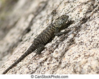 Granite Spiny Lizard on Granite - A Granite Spiny Lizard on...