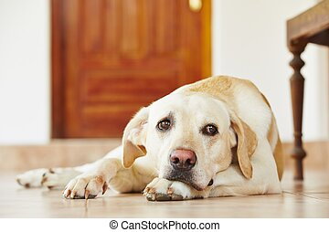 Dog at home - Labrador retriever is lying on the floor at...