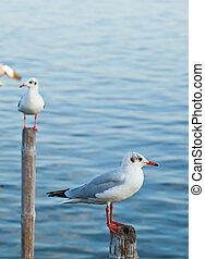 Seagull on Old Wooden Pillar  - Seagull on Old Wooden Pillar