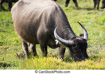 water buffalo eat a lot of eat leaves, herbs, and grass.