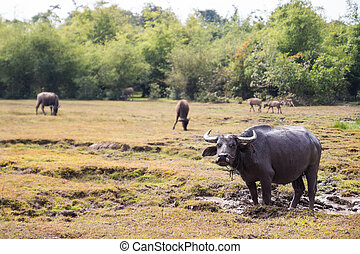 water buffalo wallow in mud