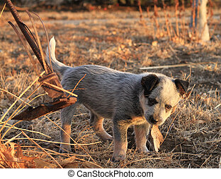 Puppy chewing on something - Blue heeler puppy chewing on...