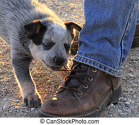 Puppy pulling on shoe strings - Young blue heeler puppy...