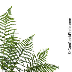 border of ferns - Border of ferns ,isolated on white...