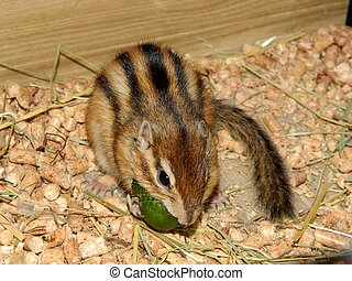 Chipmunk eating cucumber - Chipmunk eating green cucumber