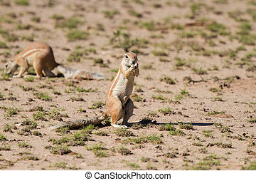 Cute ground squirrel searching for food in dry Kgalagadi...