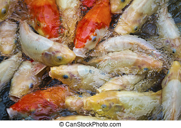 koi fish pond - multi-colored koi fish swim on the surface...