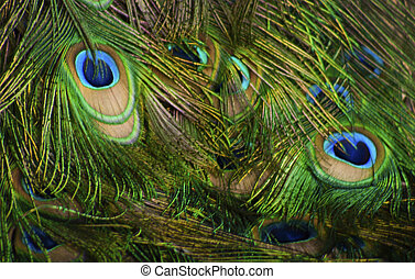 feathers of a male peacock 2