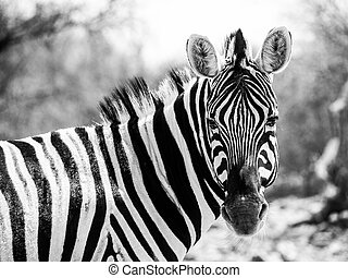 Zebra portrait in black and white (Moremi Game Reserve,...