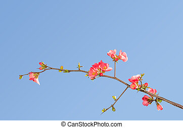 Single blooming branch of flowering quince bush