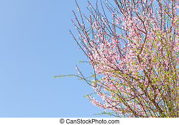 Spring blossoming pink sakura cherry tree against blue sky