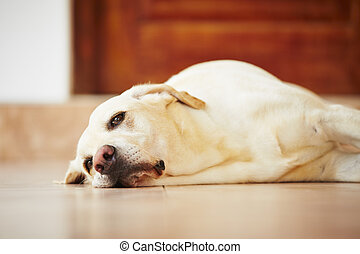 Dog is lying at home - Labrador retriever is lying on the...