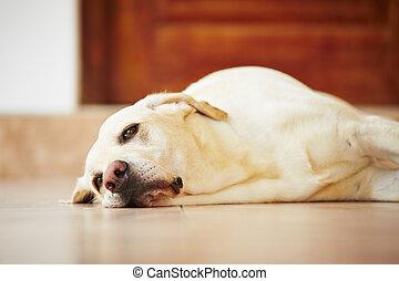perro, acostado, hogar