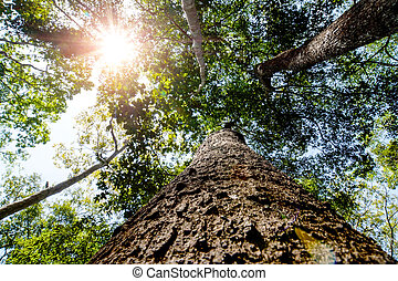 Looking up the trunk of a giant rainforest tree to the...
