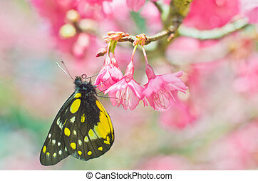 Butterfly on sakura tree with nice background - Butterfly on...