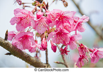 Himalayan Cherry Prunus cerasoides blooming at Doi Angkhang,...