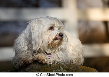 Soak up the sun - A small white Havanese lies on a stone and...