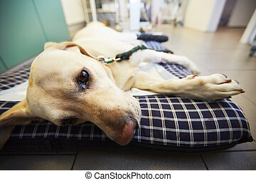 Ill dog - Ill labrador retriever in veterinary clinic.
