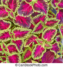 coleus colorful foliage