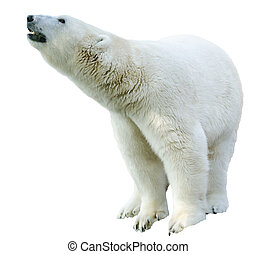 Arctic polar bear, Ursus maritimus - Figure of a polar bear...
