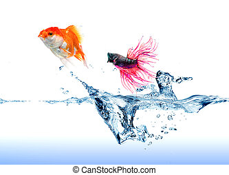 A Siamese Fighting Fish jumping chase a golden fish on white...