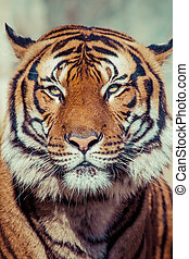 Close-up of a Tigers face