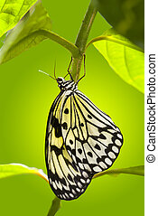 Paper Kite Butterfly - Paper Kite butterfly hanging from a...