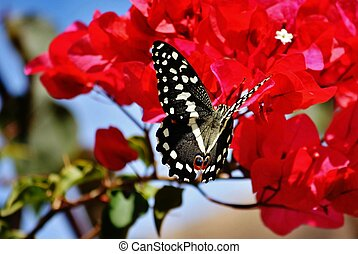 Great emperor butterfly - Macro image of beautiful great...