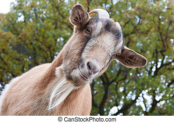 Billy Goat Portrait - Close up of a curious Billy Goat.