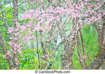 Cherry blossom(Sakura) in Chiang Mai, Thailand - Wild...