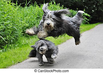 Dog jumps - Bearded Collie jumps