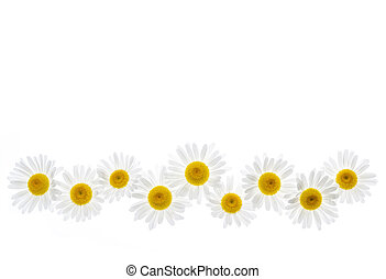 Daisy flower border - Flower border of oxeye daisies...